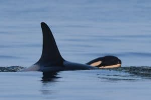 Tahlequah, the Southern Resident orca, gives birth to healthy calf