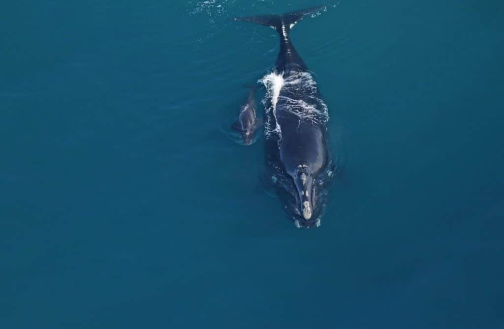 Did I see my last right whale? Not yet.