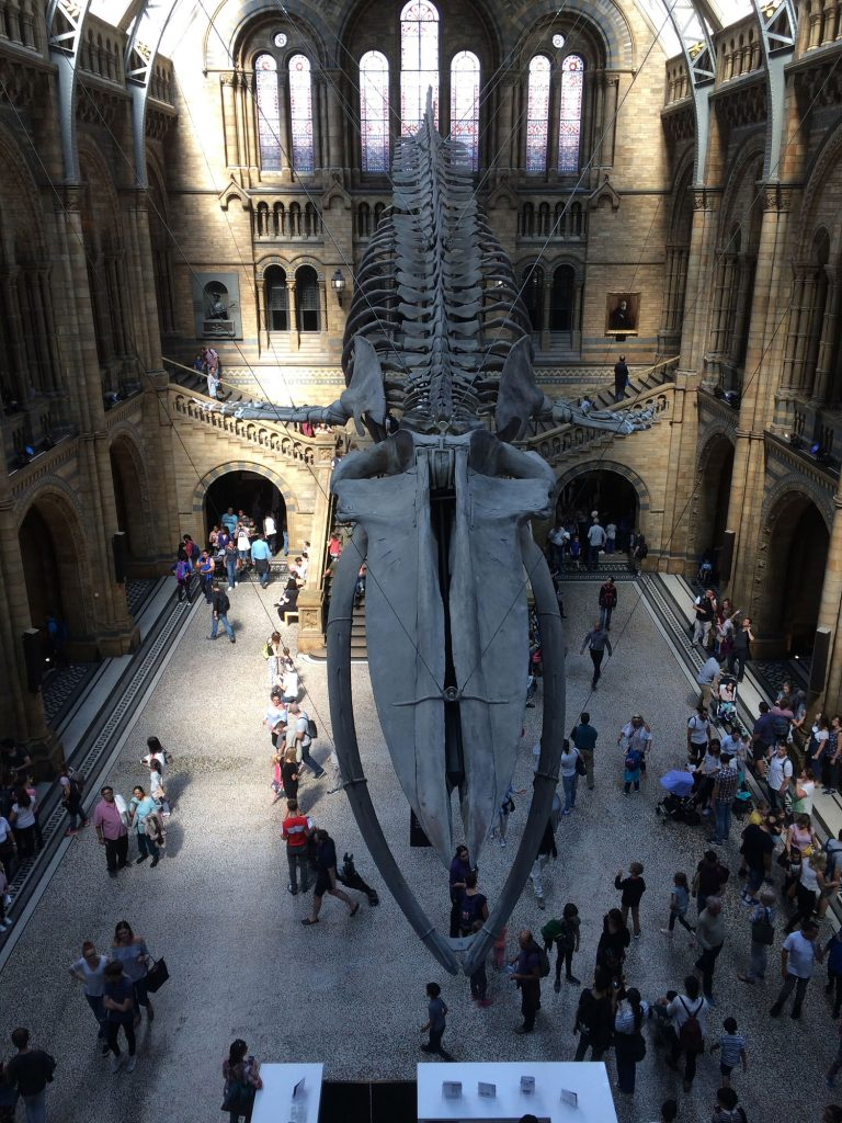 Blue whale skeleton at Natural History Museum in London