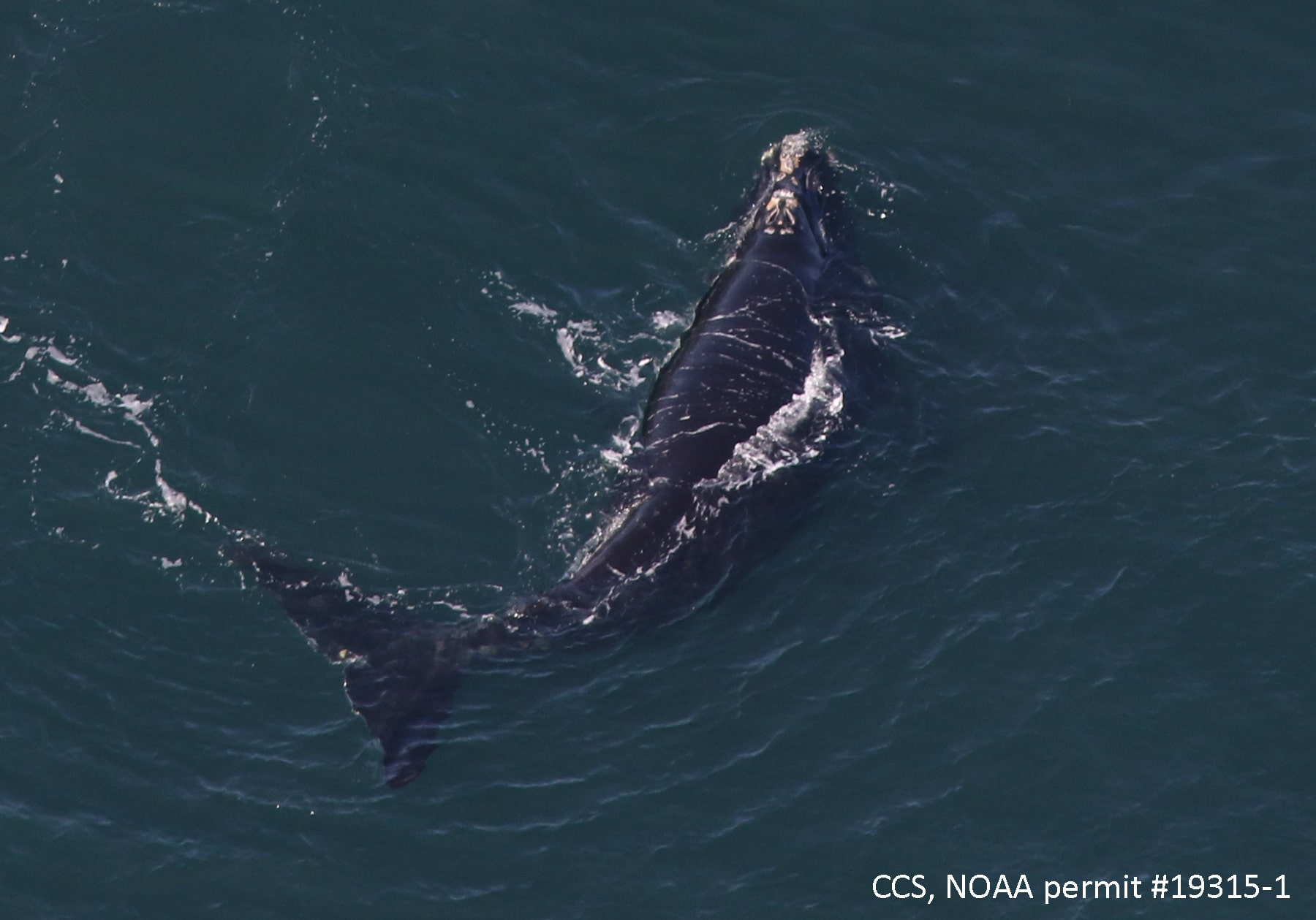 Right whale calf, Courtesy of the Center for Coastal Studies