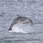 Bottlenose dolphin calf breaching with its whole body out of the water