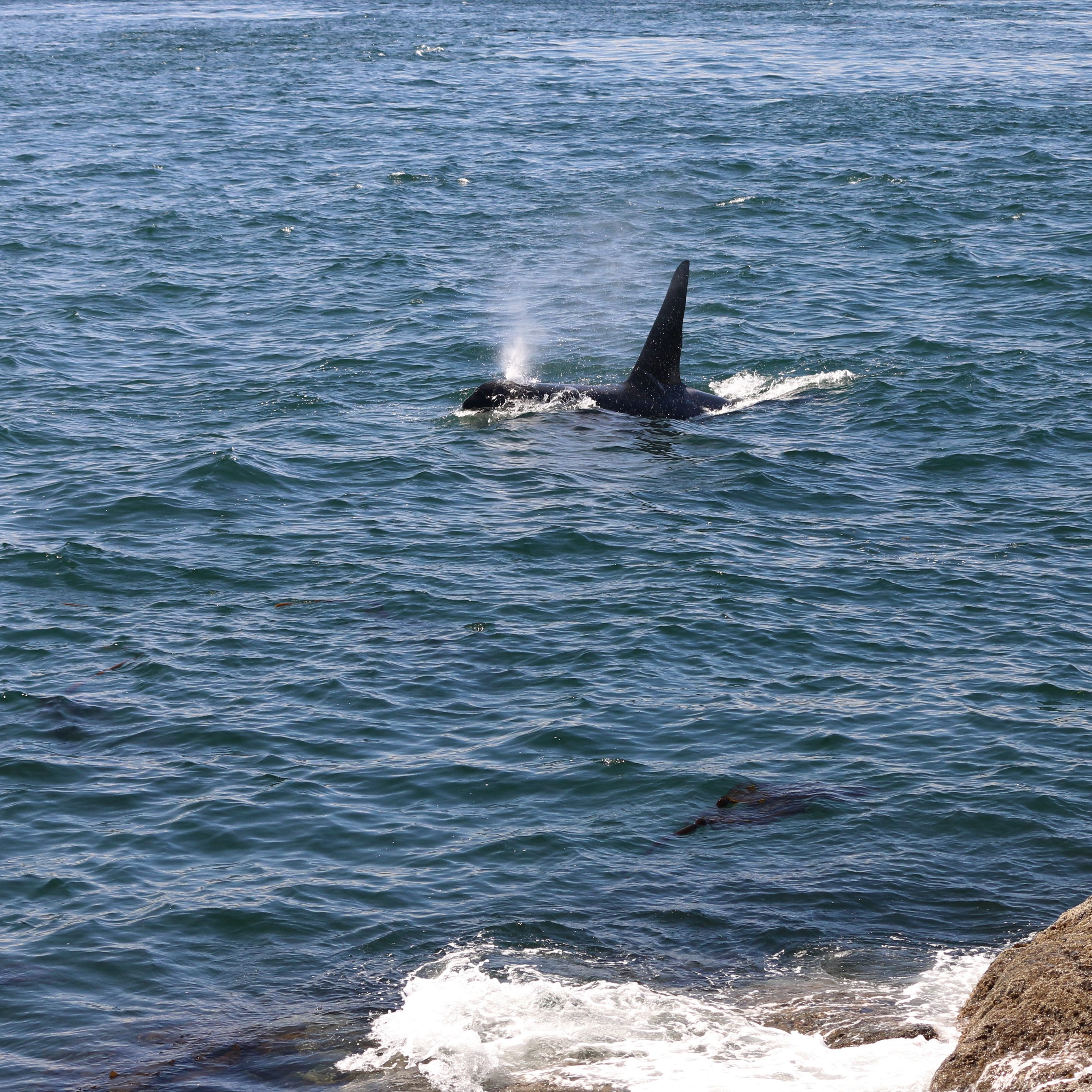 "Southern Resident orcas on the ""west side shuffle"""