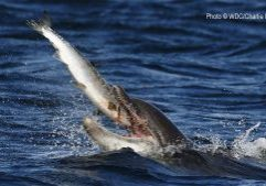 bottlenose dolphin catching a salmon in its mouth