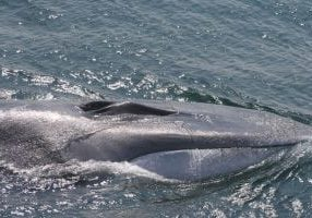 Fin whale emerging from the surface of the water