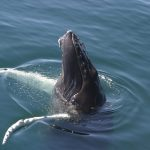 A humpback whale pokes its head partway out of the water, a behavior called spyhopping
