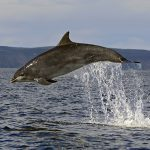 A leaping Bottlenose dolphin