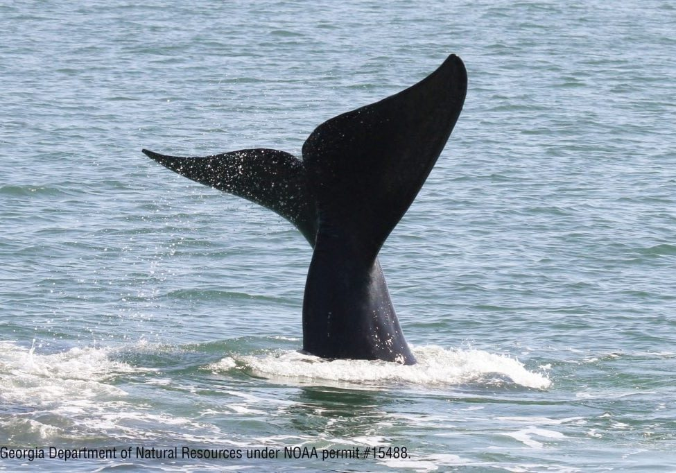 right-whale-fluke