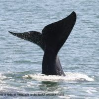 North Atlantic right whale fluking